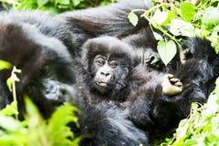 Gorilla in Virunga-Reserve, Ruanda Stockbilder