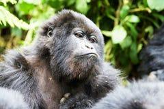 Gorilla in Virunga reserve, Rwanda. Staring black gorilla in Virunga reserve, Rwanda Stock Photography