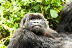 Gorilla in Virunga reserve, Rwanda. Staring black gorilla in Virunga reserve, Rwanda Stock Image