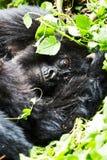 Gorilla in Virunga reserve, Rwanda. Staring black gorilla in Virunga reserve, Rwanda Stock Photo