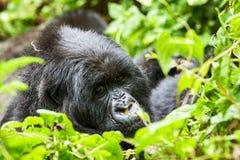 Gorilla in Virunga reserve, Rwanda. Staring black gorilla in Virunga reserve, Rwanda Royalty Free Stock Image