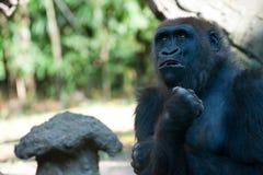 Gorilla. A Gorilla waiting for the Silverback to finish feeding Royalty Free Stock Photos