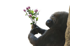 Gorilla waiting to give a gift of pink roses. Royalty Free Stock Images