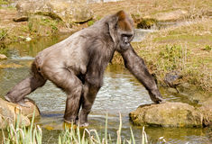 Gorilla Walking. Gorilla female walking over a Pond Royalty Free Stock Images