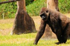 Gorilla walking Stock Photos