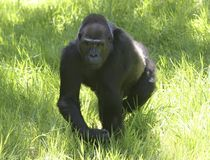 Gorilla walking. Wild gorilla walking in the grass Stock Photography