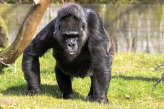 Gorilla walking on the green grass field and looking into the camera. Large adult gorilla staring stock photography