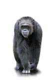 A gorilla walks on all four , isolated Stock Images