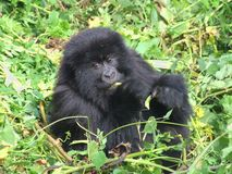 Gorilla-Wanderung Stockbild