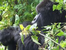 Gorilla-Wanderung Stockfoto