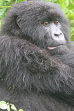Gorilla Watching Stock Photography