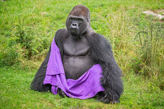 Gorilla wearing a blanket Royalty Free Stock Images