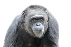 A gorilla on white background, close up Royalty Free Stock Images