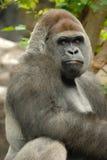 Gorilla wirft auf Stockbilder