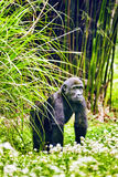 Gorilla Wisdom. Gorilla Wisdom in its natural habitat in the wild royalty free stock image