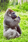 Gorilla Wisdom. Stock Photography