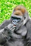 Gorilla Wisdom. Gorilla Wisdom in its natural habitat in the wild stock image