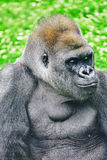 Gorilla Wisdom. Gorilla Wisdom in its natural habitat in the wild royalty free stock photo