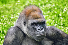 Gorilla Wisdom. Gorilla Wisdom in its natural habitat in the wild royalty free stock images