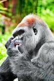 Gorilla Wisdom. Gorilla Wisdom in its natural habitat in the wild stock images