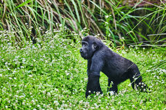 Gorilla Wisdom. Gorilla Wisdom in its natural habitat in the wild royalty free stock photography