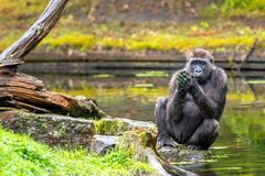 A gorilla woman plays with water royalty free stock photos