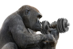Gorilla working out with a dumbbell. Humorous concept shot of a gorilla on white training with a heavy dumbbell, symbolizing great strength Stock Photo