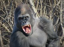 Gorilla Yawning Like King Kong! Stock Photo
