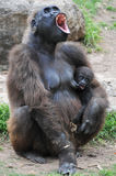 Gorilla with a young offspring screaming. Female Western lowland gorilla screaming with a young offspring on her hands Royalty Free Stock Photography