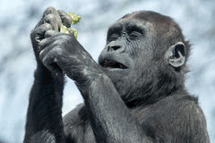 Gorilla youngster. Is enjoying his food Royalty Free Stock Image