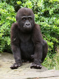 Gorilla youngster. Portrait of a gorilla youngster Royalty Free Stock Images
