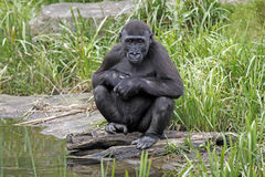 Gorilla youngster sitting by water stock photography