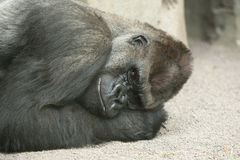 Gorilla in zoo. Gorilla daydreaming or resting in the zoo Royalty Free Stock Image