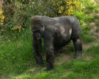 Gorilla in zoo. Western lowland gorilla in zoo Royalty Free Stock Image