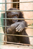 Gorilla am Zoo lizenzfreies stockfoto