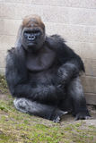 Gorilla at the zoo Stock Photos