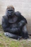 Gorilla at the zoo Stock Photos