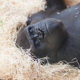 Gorilla at the zoo Royalty Free Stock Photo