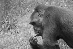 Gorilla. It is gorilla in zoo Royalty Free Stock Image