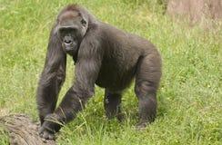 Gorilla. It is gorilla in zoo Stock Photo