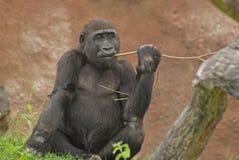 Gorilla. It is gorilla in zoo Royalty Free Stock Photo