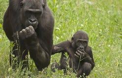 Gorillas. It is gorilla in zoo Stock Images