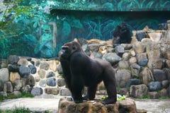 The Gorilla Royalty Free Stock Image