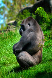 Gorilla at the zoo Stock Photo
