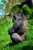 Gorilla am Zoo Stockfoto