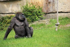Gorilla in zoo Fotografie Stock Libere da Diritti