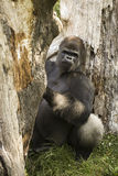 Gorilla. From  zoo, channel island Uk, Guernsey Royalty Free Stock Image