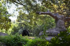 A gorilla in the zoo stock photography
