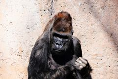 A gorilla at the zoo. A gorilla leaning up against a wall resting at the Albuquerque New Mexico zoo Royalty Free Stock Image