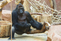 Gorilla in ZOO Stock Images